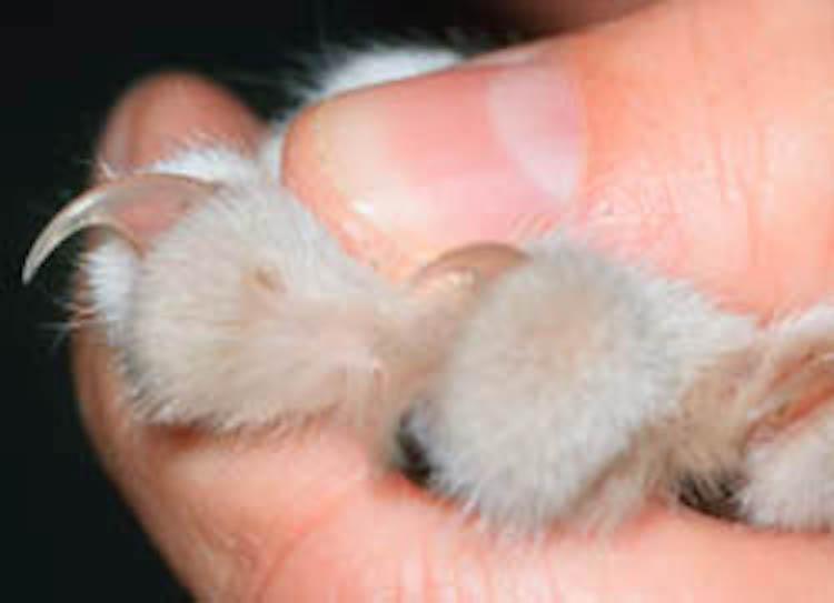 Kuku kucing terdiri dari dua sisi, transparan dan quick, yang berwarna merah muda.