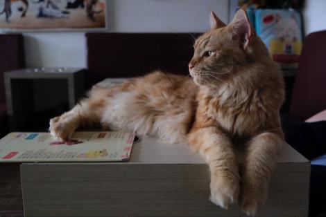 Caramello, kucing Maine Coon yang punya banyak penggemar
