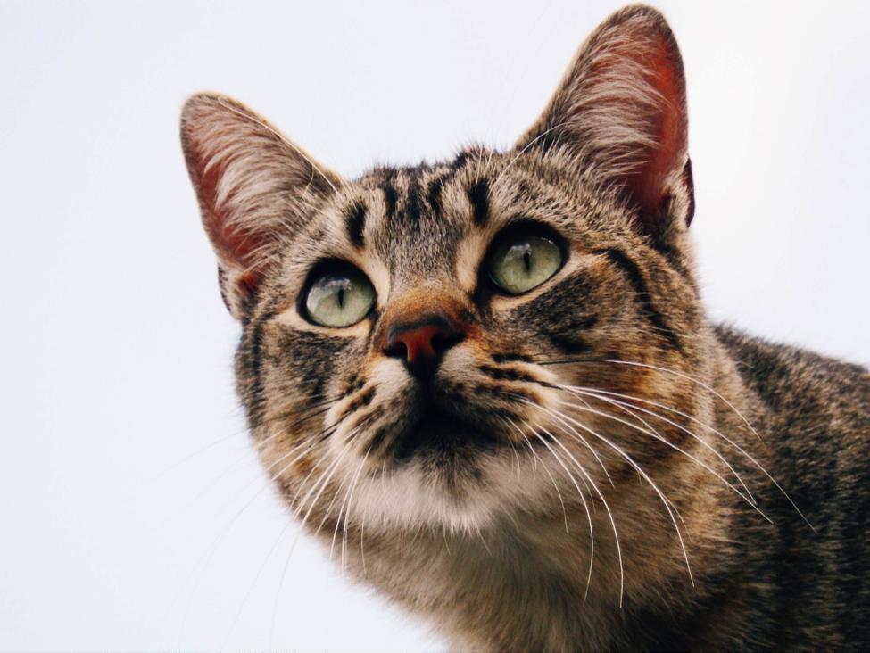 Mengingat tungau bisa menular, pastikan untuk memeriksa telinga seluruh kucing secara rutin