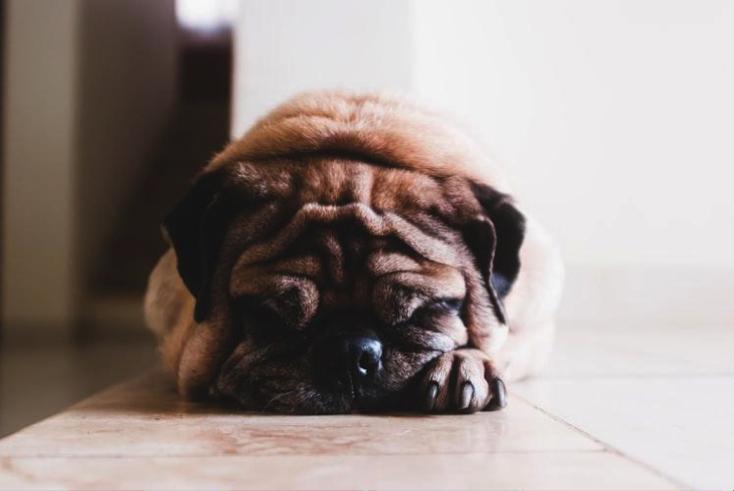 Anjing atau kucing yang sudah dikebiri cenderung malas bergerak hingga obesitas