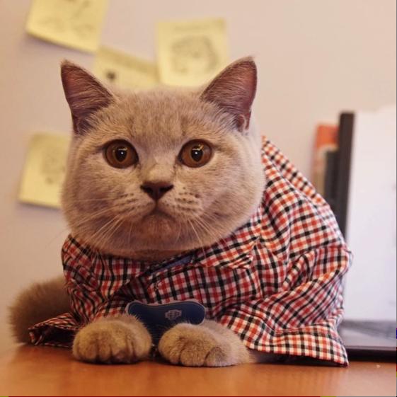 Cia, kucing British Shorthair yang punya akun IG @ciacatdiary