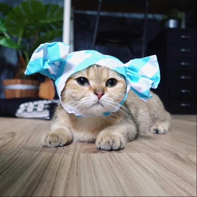 Koca, adik Cia, sedang menyamar sebagai permen kucing British Shorthair