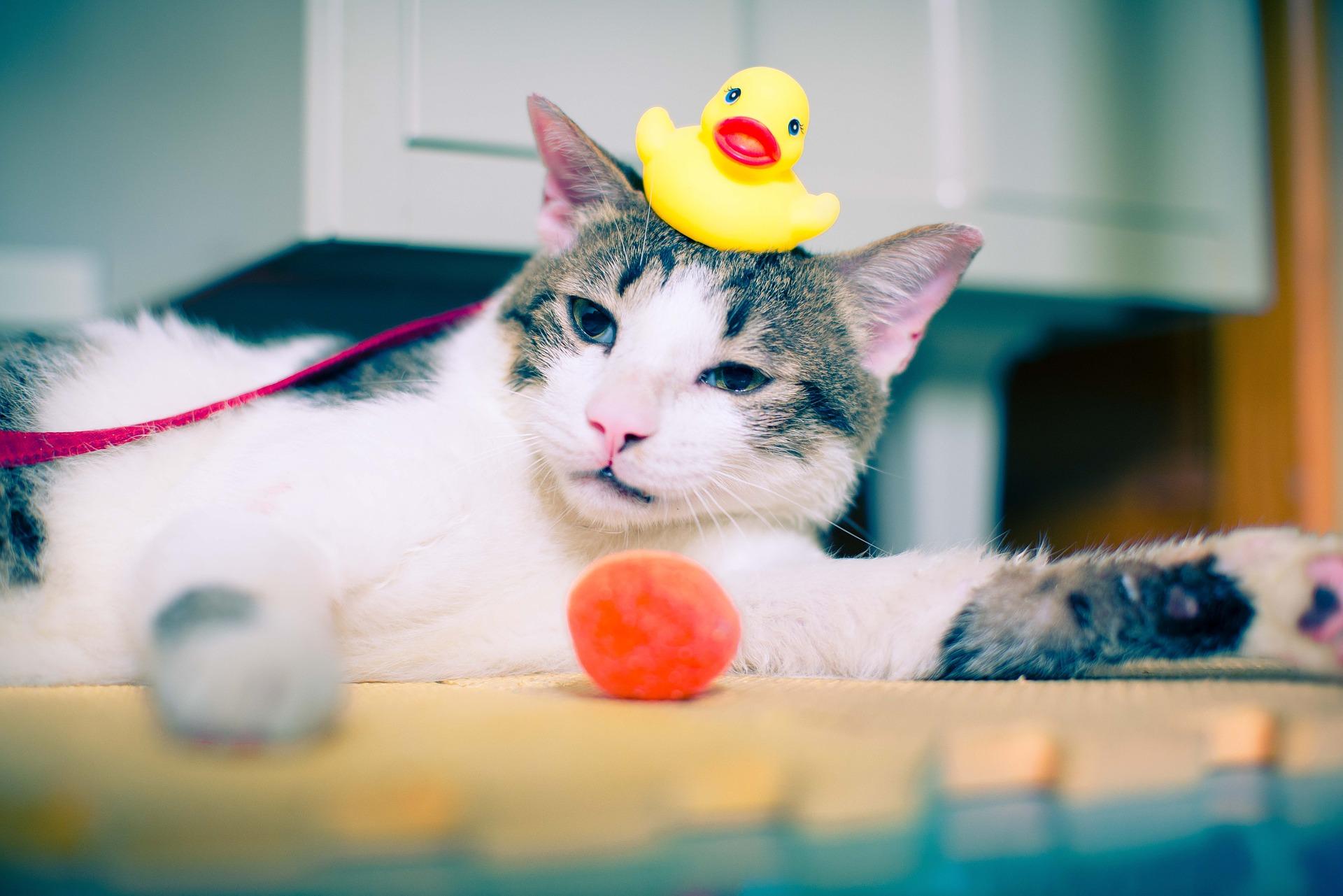 Setelah operasi steril, jauhkan kucing dari kegitan fisik yang melelahkan