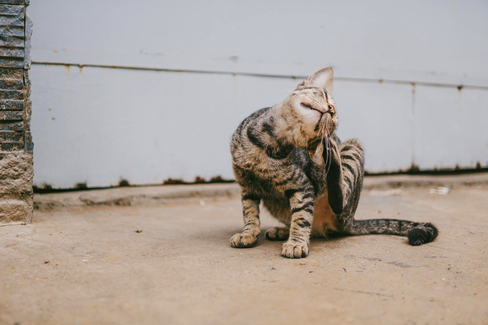 Kucing Terkena Tungau Telinga? Cari Tahu Penanganannya di Sini