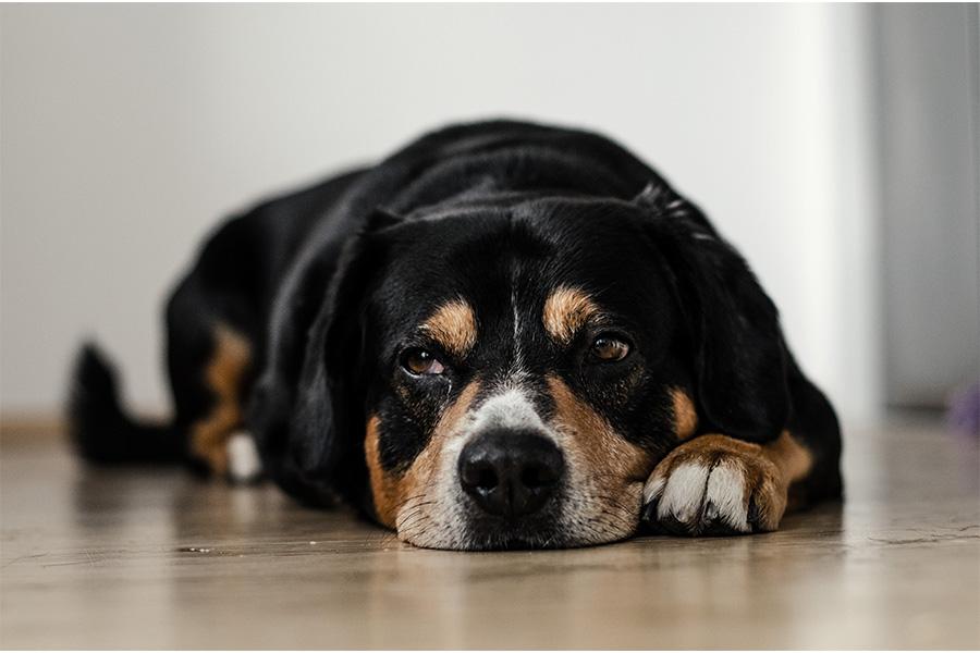 Penyakit Distemper pada Anjing, Ketahui Gejala dan Pencegahannya