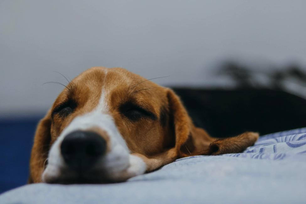 Penyakit Kanker pada Anjing, Kenali Penyebab dan Cara Menanganinya
