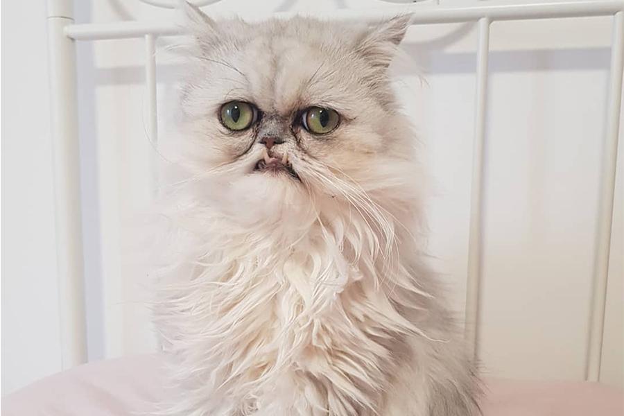 Kenalan dengan Wilfred Warrior, Kucing Berwajah Mengerikan di Instagram!