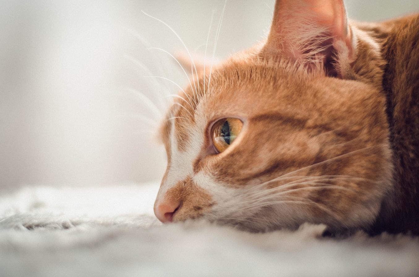 Kucing Anda Susah Pipis? Cari Tahu di Sini