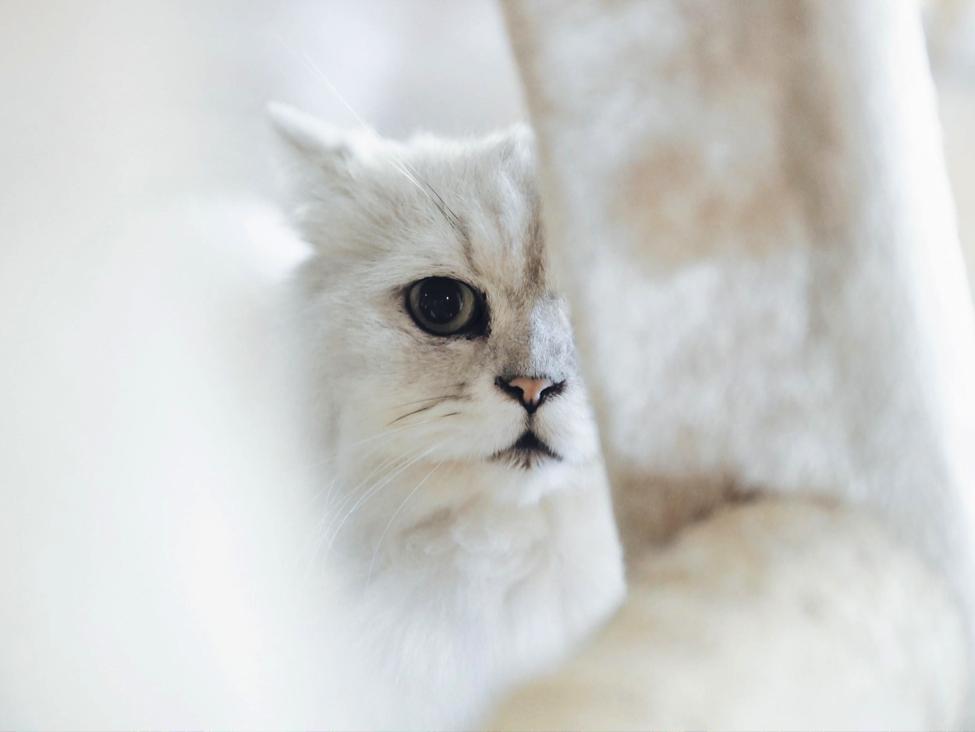 Bagaimana Penularan Toksoplasma dari Kucing ke Manusia?