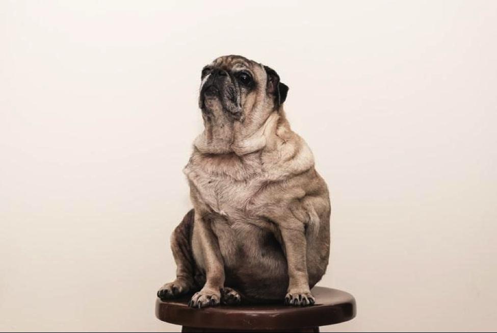 Obesitas pada Anjing dan Kucing, Menggemaskan vs Mengkhawatirkan?