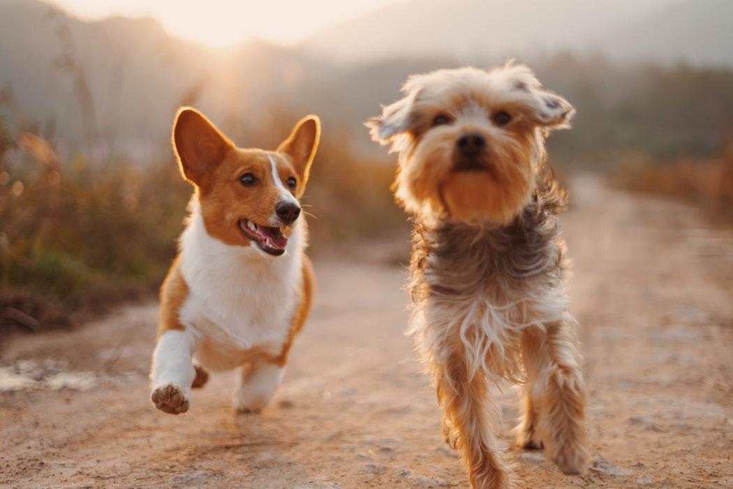 Mengenal Loop atau Menstruasi pada Anjing Betina