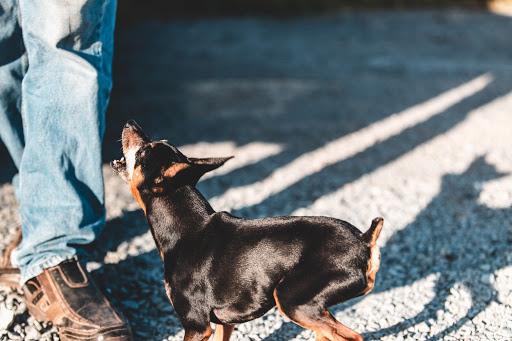 Latih Anjing Tidak Selalu Menggonggong, Ketahui 4 Hal Ini Dulu