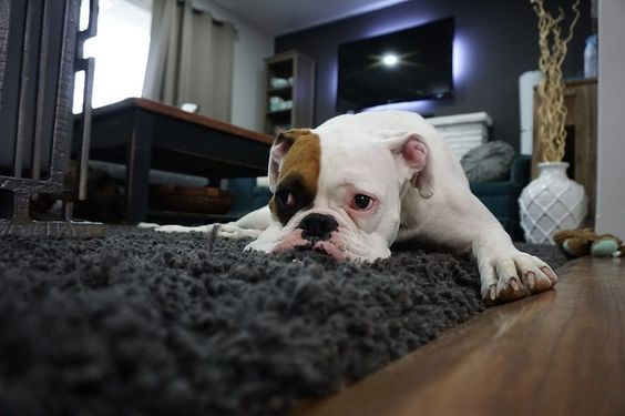 Tips Memelihara Anjing di Apartemen atau Rumah Kecil